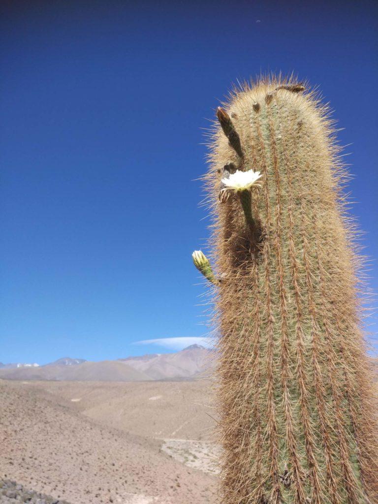 kvetoucí kaktusy atamaca