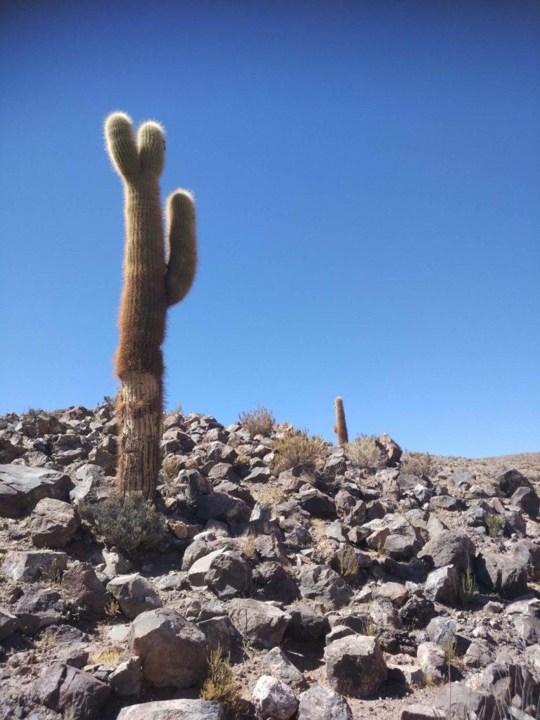 Kaktusy v poušti